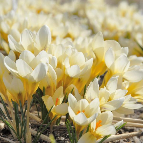 Crocus chrysanthus Cream Beauty