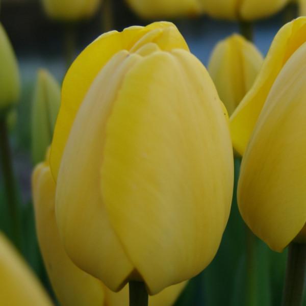 Tulip Golden Apeldoorn