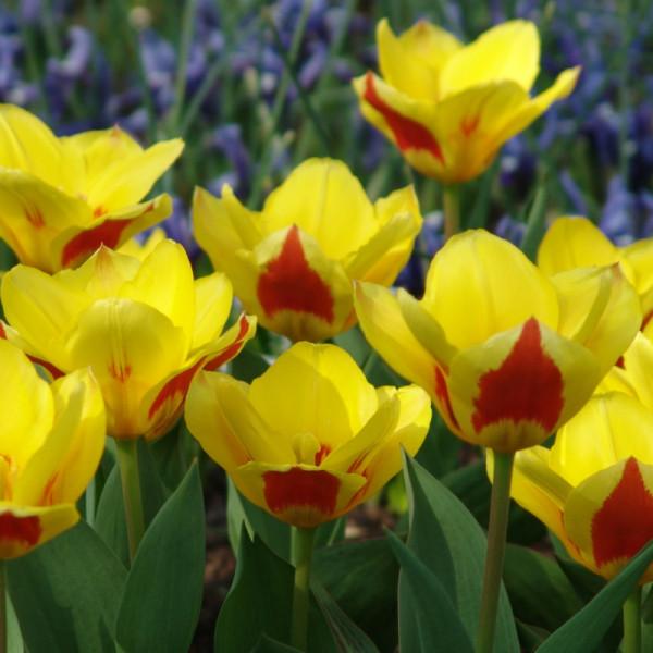 Tulip Stresa