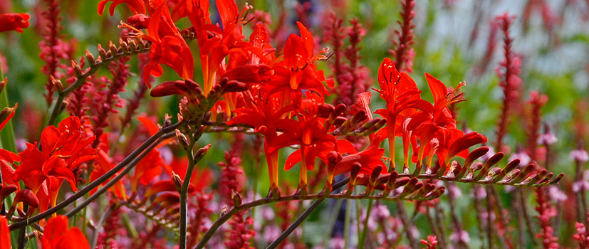 Crocosmias