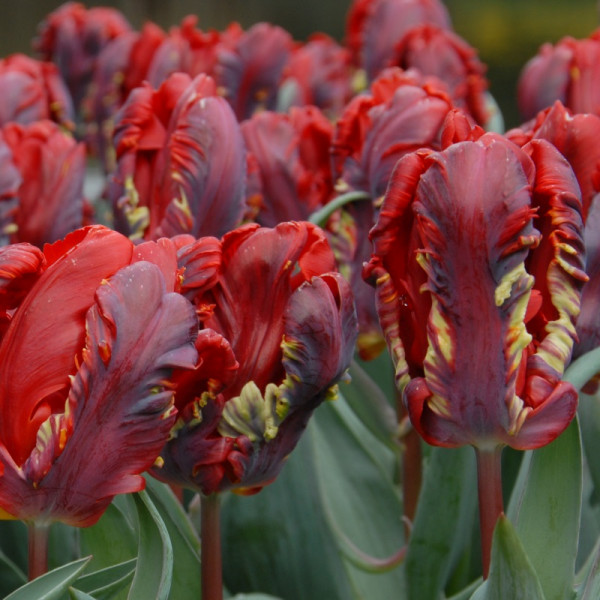 Tulip Rococo