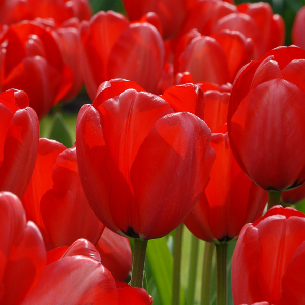 XL-Pack Tulip Red Impression®