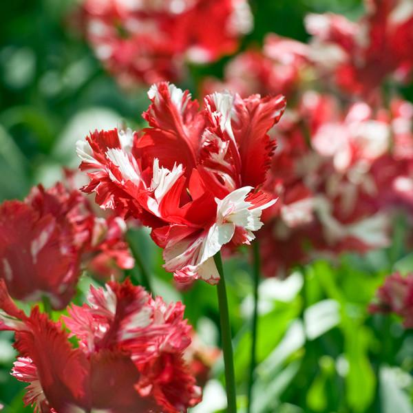 Tulip Estella Rijnveld