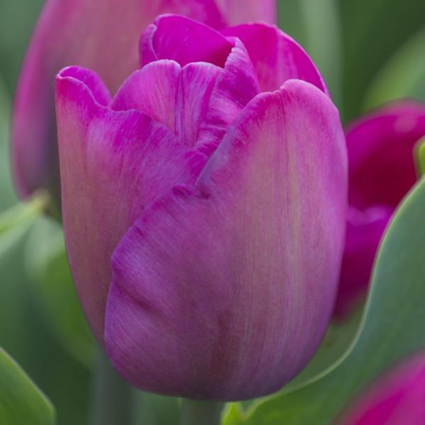 Tulipa Attila
