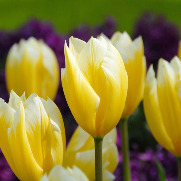Tulip Sweetheart