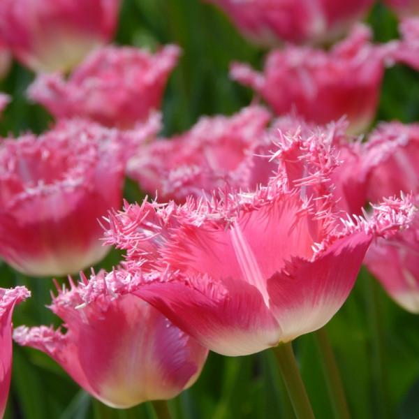 Tulipa Fancy Frills