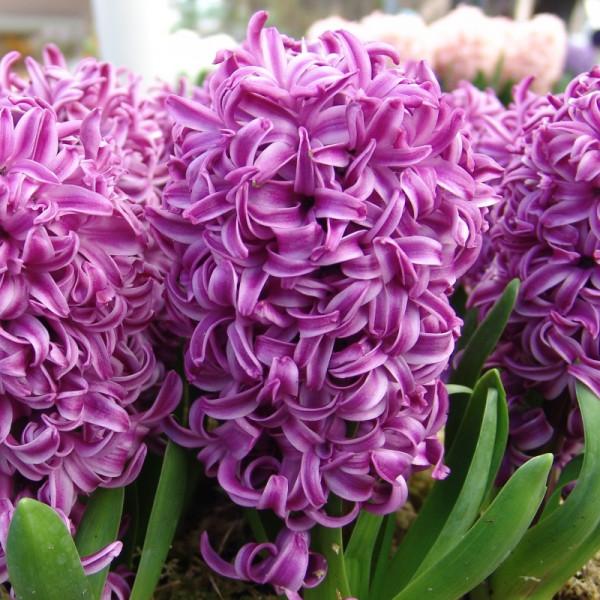 Hyacinth Purple Sensation
