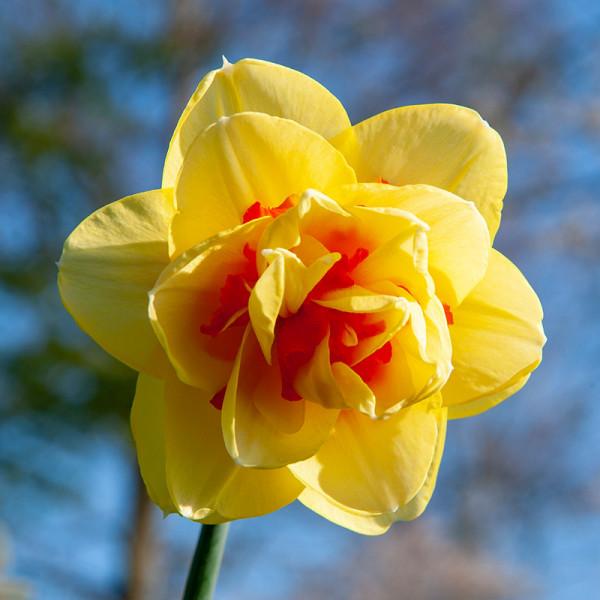 Daffodil Tahiti