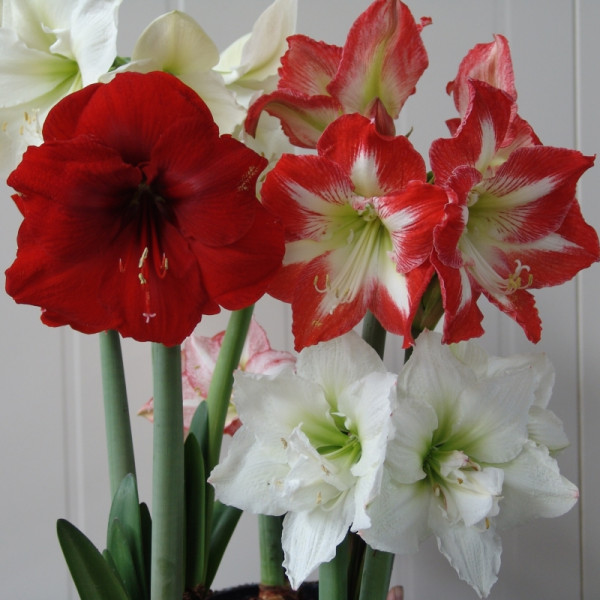 Amaryllis Surprise mix a 3