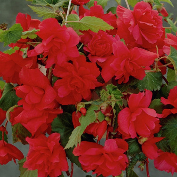 Begonia pendula red