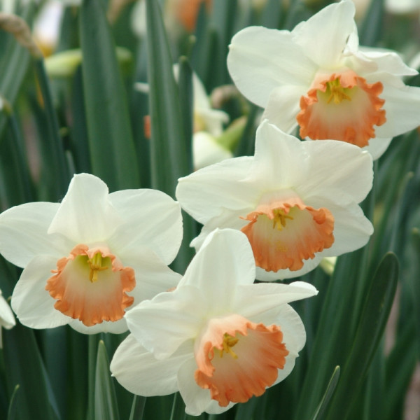 Narcissus Pink Charm
