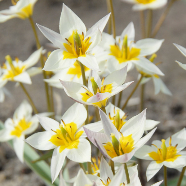 Tulip turkestanica