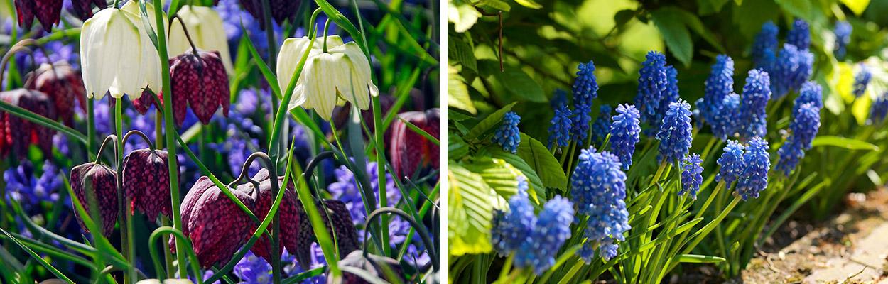 Naturalizing flower bulbs