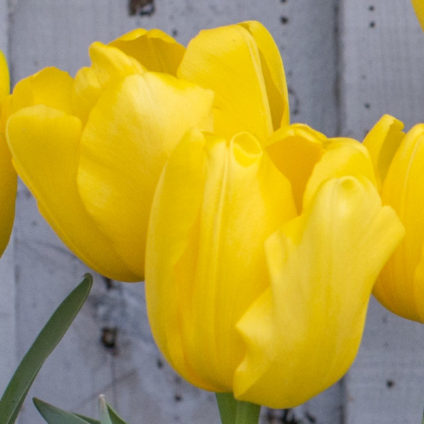 Tulp Yellow Baby