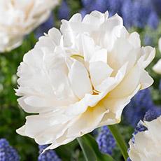 Alles-Over-Tulpen-dubbel-vroeg