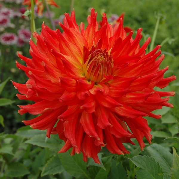Dahlia Fired Up