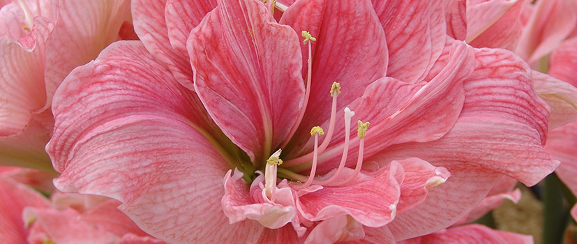 Double Amaryllis