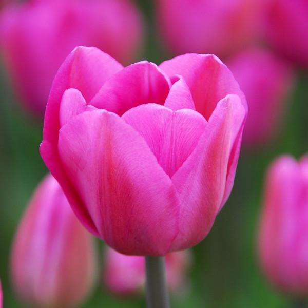 XL-Pack Tulip Don Quichotte