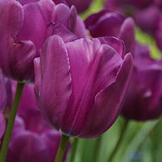 Alles-Over-Tulpen-triumphWXe044X4FriX5