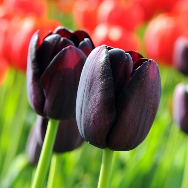 XL-Pack Tulip Queen of Night