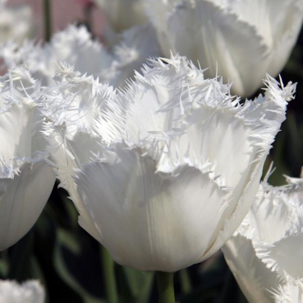 Tulip Honeymoon