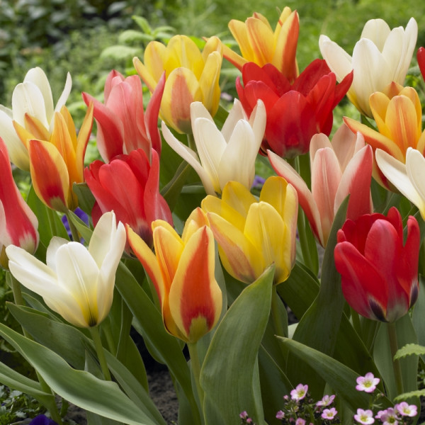 Early Flowering Tulip mix