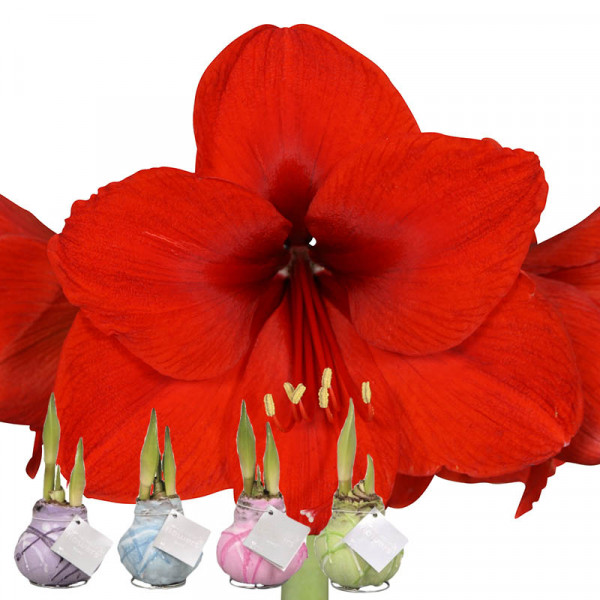 Waxed Amaryllis Monet set of 4
