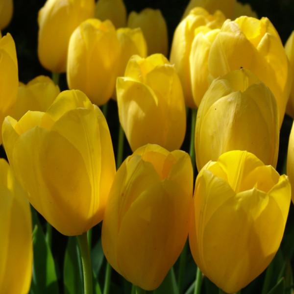 Tulip Big Smile