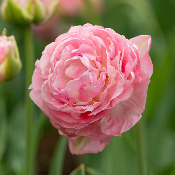 Tulip Only Me