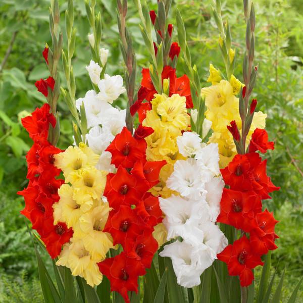 Gladiolus mix a 15