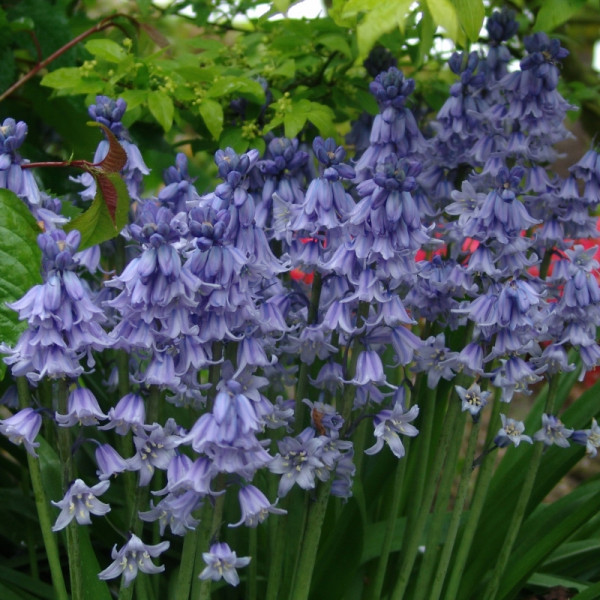 Hyacinthhoides Excelsior