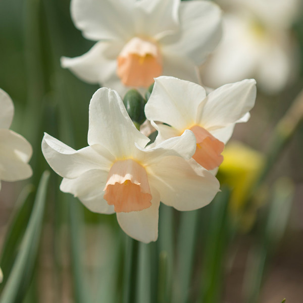 Daffodil Bell Song