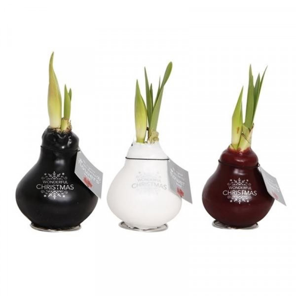 Waxed Amaryllis Wonderful Christmas set of 3